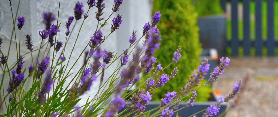 Lavender_House