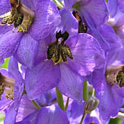 lavender_flower