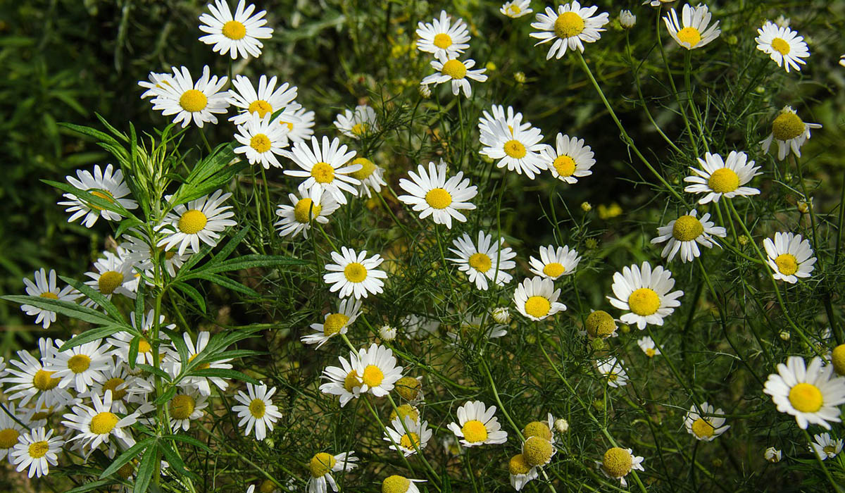 skye soap flower power blog chamomile