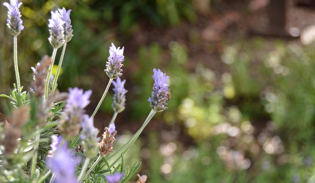 skye soap flower power blog lavender
