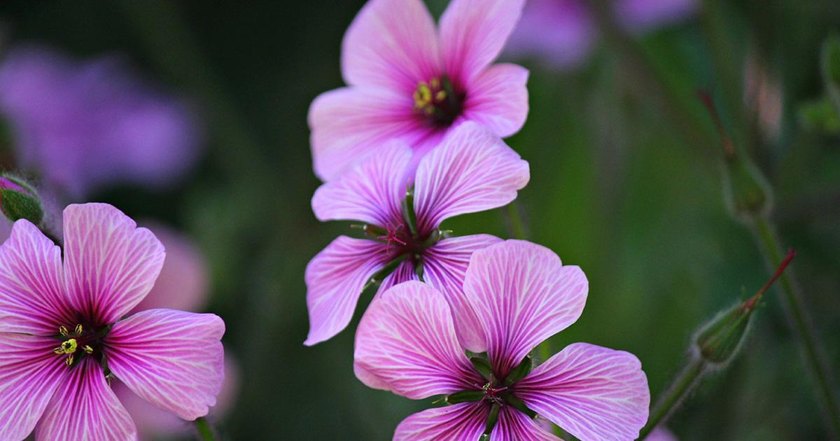 skye soap geranium