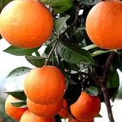 sweet_orange
